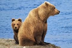Mom and Cub (toryjk) Tags: bear sub brooks brownbear alaksa katmai momandcub