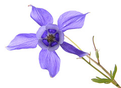 (AWD Alessandro Vecchi) Tags: parco flower violet aquilegia monte fiore viola valledaosta naturale avic flowersadminfave barbustel alessandrovecchi
