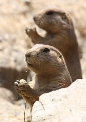 prariedog2 (beckstei) Tags: cute zoo detroit exhibition prairiedogs rodents detroitzoo greatplains groundhogs