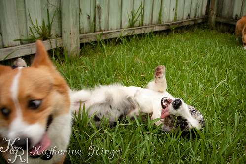 Corgi Backyard Play