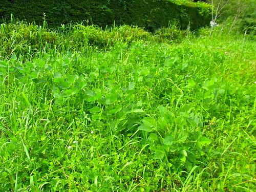 枝豆vs雑草