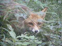 July 2011 (sarahamina) Tags: vienna wien austria österreich fox viena tiergarten vienne fuchs autriche beha wena lainzertiergarten lainz lainzer sarahamina