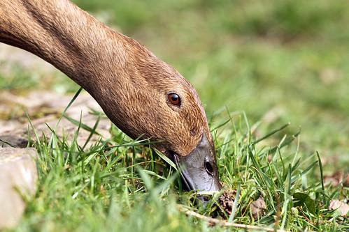 Daphne - Runner Duck