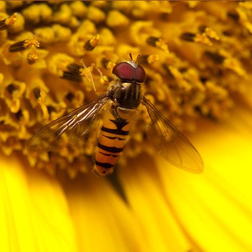 hoverfly-syrphus-ribesii-on-sunflower--s