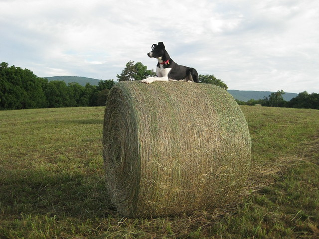 birdie and big round bales