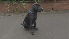 Jack's First Day at School (Greater Manchester Police) Tags: dog training puppy manchester lab labrador police retriever firstday pup gmp k9 policedog snifferdog britishpolice searchdog ukpolice greatermanchesterpolice policevideo unitedkingdompolice