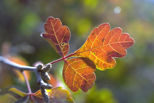 Photo - Sumac Leaf