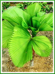 Licuala grandis (Vanuatu Fan Palm, Ruffled Fan Palm, Palas Payung) - a newly planted seedling at HUKM, KL