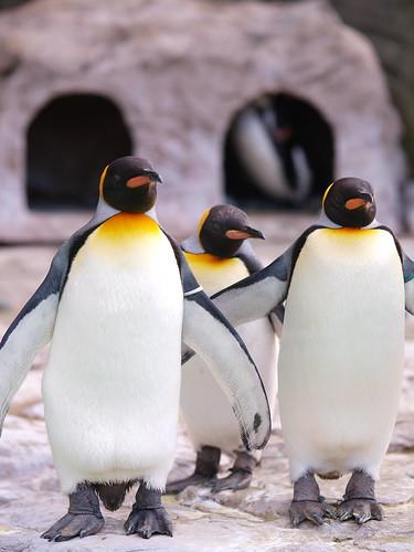 上野動物園 オウサマペンギン