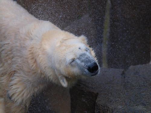 上野動物園 ホッキョクグマ