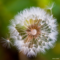 escape (Edwin_Abedi) Tags: flower macro nature closeup canon bokeh dandelion taraxacum flickraward5 flickrawardgallery