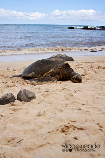 Turtle at Laniakea Beach