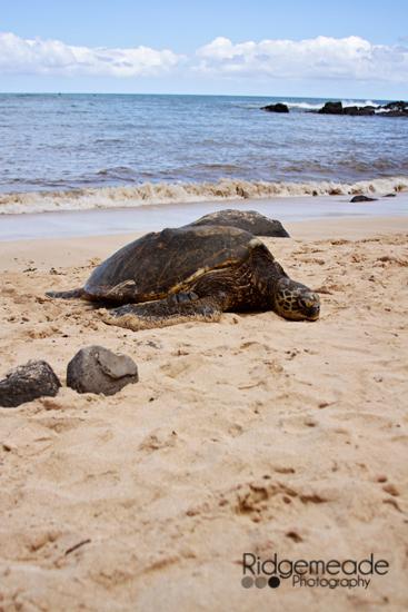 Turtle at Laniakea Beach