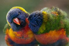 Lorikeets (exito2099) Tags: bird nature birds interesting whirlpool lorikeets rainbowlorikeets canon200mmf28l canon5dmarkii eos5dii
