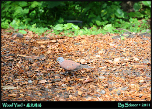 保護色野鴿