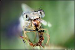 steak and kidney fly (Iain Lawrie) Tags: macro nature insect scotland damselfly reversedlens odonata commonbluedamselfly enallagmacyathigerum