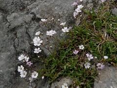 Gypsophile rampante=Gypsophila repens - Aravis 008