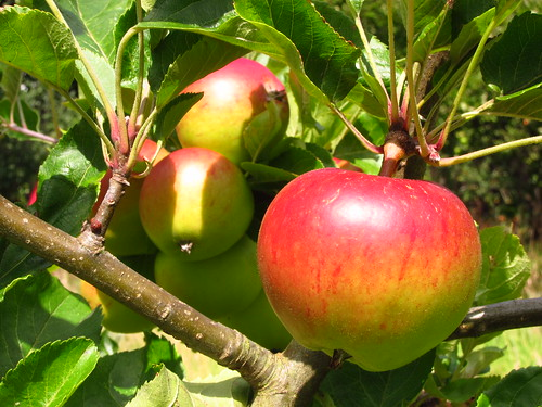 Apples in the Orchard at Fenton House