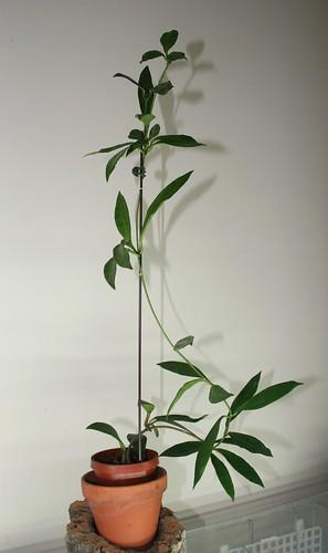 Hoya sp GPS 3762 plant