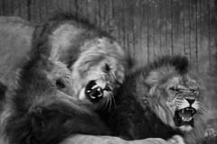 Leones (hunte77) Tags: blancoynegro selva leon campo animales pelea pelo leones