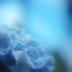 The Blue world (Saraia77(Very slowly....)) Tags: blue flower color 120 film nature japan zeiss mediumformat square soft kodak bokeh hasselblad squareformat osaka dreamy highkey dreamlike planar oa 500cm carlzeiss portra160nc closeuplens 5018 66 carlzeissplanar planar8028 6elements