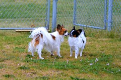 Talking (Pappup2010) Tags: dog pet white black color cute animal butterfly puppy toy small tan sable ears canine papillon tricolor pup breed tri pap toybreed butterflydog whiteandsable