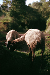 Film's over (Se acabó el rollo) (Rick9444) Tags: naturaleza film nature méxico speed 35mm de lens landscape mexico luces nikon san sheep natural scanner eating superia cosina flock 100mm iso pedro 400 shutter scanned flare roll fujifilm f3 135 sheeps negatives 1500 canoscan toluca oveja comiendo estado rollo f35 fujicolor ovejas rebaño metepec 8400f pastando parasitas parásitas tlanisco