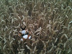 A frolic in the hay (Dave Reinhardt) Tags: corn uffington teddybok