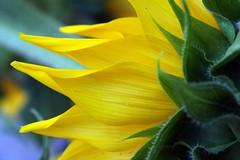 Yellow Petals (Read2me) Tags: flower yellow frombehind sunflower thumbsup x3 x2 pog bigmomma gamewinner challengeyouwinner 3waychallengewinner flickrchallengewinner 15challengeswinner favescontestwinner challengegamewinner friendlychallenges achallengeforyou thumbsupwinner thechallengefactory ultimategrindwinner yourockwinner agcgwinner gamex2winner herowinner superherochallengewinner ultraherowinner storybookwinner storybookchallengegroupotr storybookchallengegroupttw gamex3winner pregamesweepwinner storybookttwwinner agcgcrèmedelacrèmewinner agcgsweepchallengewinner agcgsweepwinner agcgcrèmeofthecropchallengewinner ispywinner pregameduelwinner challengeclubwinner perpetualchallengewinner