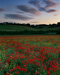 Evening Poppies near Tring, Hertfordshire (TimSmalley) Tags: evening dusk poppies 4x5 tring largeformat hertfordshire 5x4 velvia100f fujinona180mmf9