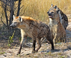 Hyenas on the Hunt