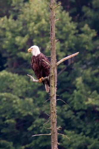 eagle-7705