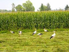 DSCN2203 storks (pinktigger) Tags: nature field birds countryside country storks friuli fagagna friul cicogna oasideiquadris feagne
