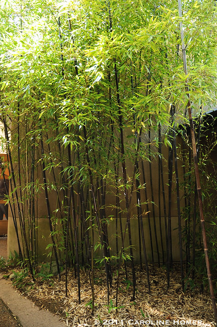 Black bamboo in the McVay Courtyard