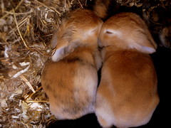 (cantthinkofanythingclever) Tags: bunny bunnies kits rabbits cutebunny babyrabbits cuterabbit gingerrabbits