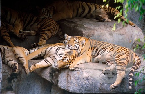 View of sleeping tigers in the tiger enclosure at Samut Pra Kan Crocodile Farm.