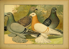 n120_w1150 (BioDivLibrary) Tags: history birds museum natural 5 library pigeons american 5986 pictorialworks bhl:page=34042085 dc:identifier=httpbiodiversitylibraryorgpage34042085