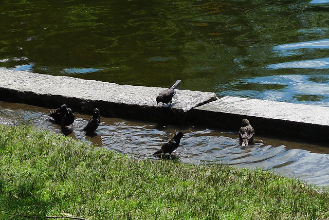 Boston - Bathing Birds