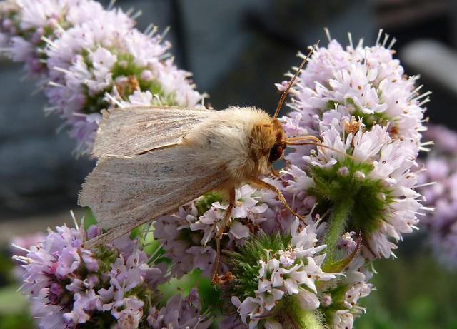 Wainscot Moth