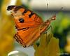 Rebuilding (NTFlicker) Tags: yellowflower nikoncoolpix8800 butterflyorangebutterflywhiteflower