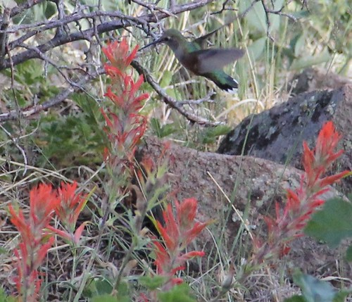 Broad-Tailed Hummingbird on Indian Paintbrush