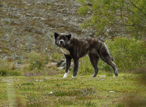 Great dane wolf hybrid