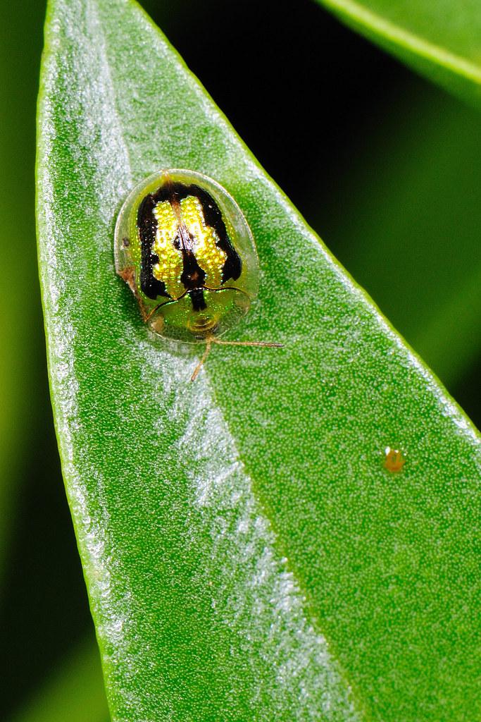 甘藷龜金花蟲 Cassida(Taiwania) circumdata