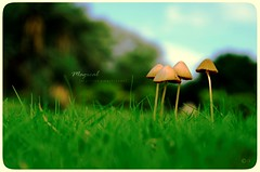 Magical | Mashrooms (Crosshatchs) Tags: pakistan macro green nature colors grass garden landscape nikon dof monsoon closeups mashrooms florafauna crosshatch 50mm18d zeejay d7000