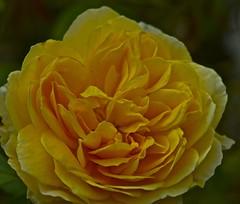 Yellow Rose (IanAWood) Tags: summer kewgardens london kew raw richmond royalbotanicalgardens 105mmf28gvrmicro d3x nikkor105mmf28gvrmicro walkingwithmynikon