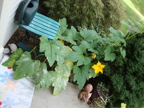 pumpkin plant 8/13/11