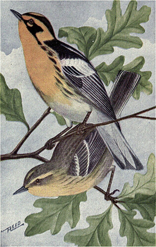 Reed Blackburnian Warbler