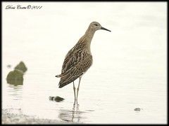 Philomachus pugnax (DinisCortes) Tags: ruff philomachuspugnax colorphotoaward blinkagain