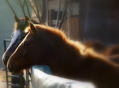 Cavalli (Le foto di Marietta) Tags: horse italia farm piemonte cavalli controluce valsesia fattoria