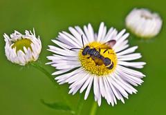 _DSC4047.jpg (aeschylus18917) Tags: park macro nature japan insect tokyo nikon wasp bokeh   hornet f28 nerima parasite pxt diptera pollination 105mm hymenoptera nerimaku insecta hikarigaoka 105mmf28 vespidae eumeninae thickheadedfly apocrita potterwasp  hikarigaokapark  105mmf28gvrmicro   vespoidea acalyptratae d700 nikkor105mmf28gvrmicro  schizophora danielruyle aeschylus18917 danruyle druyle   conopoidea conopoidae